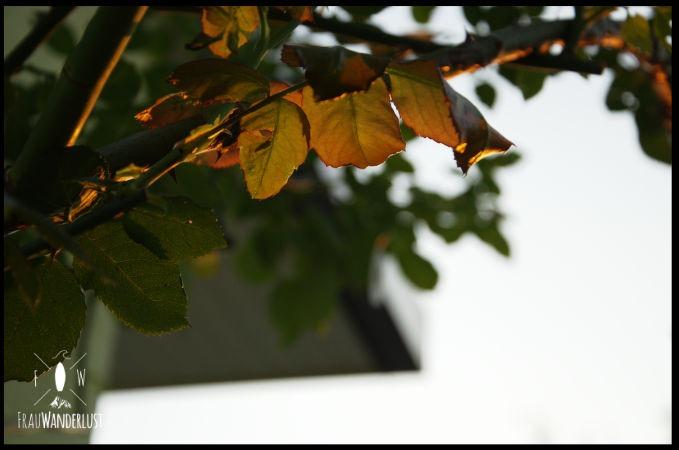 Rosenblätter in der Abendsonne