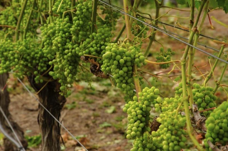 Weintrauben in Napier